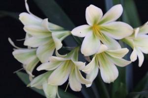 Lilys Green