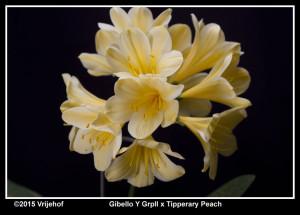 Gibello x Tipperary Peach a