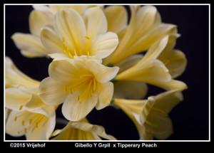 Gibello x Tipperary Peach b