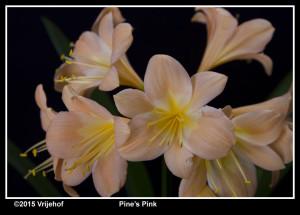 Pines Pink