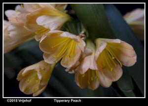 Tipperary Peach